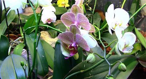 transplanting phalaenopsis orchids growing phalaenopsis orchid in a vivarium