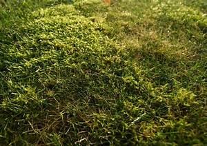 Anti Mousse Pelouse Sans Sulfate De Fer : lutter contre la mousse sur la pelouse ~ Dailycaller-alerts.com Idées de Décoration
