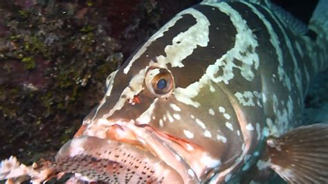 fish grouper eating lion