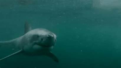 Shark Swims Swimming Underwater Water Under Away