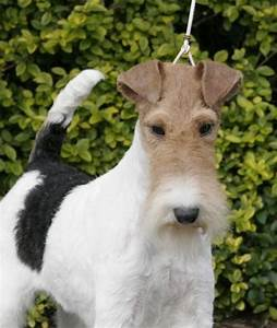 WIRE-HAIRED FOX TERRIER | WIRE-HAIRED FOX TERRIER | Pinterest