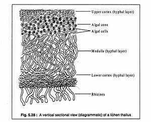 Thallus Structure Of Lichens  With Diagram