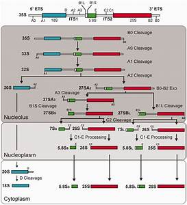 The pre-rRNA processing pathway in yeast. The structure of ...
