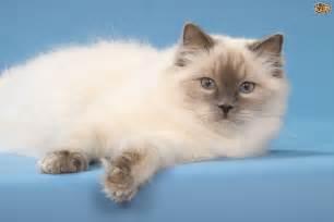 popular cat breeds five popular cat breeds from america pets4homes