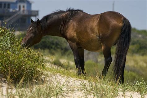 horses wild corolla outer banks horse nc outerbanks carolina north head beach tours island duck vacation vacations currituck