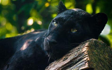 Black Jaguar by Black Jaguar Wallpapers Wallpaper Cave