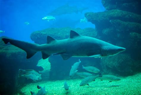 cuisine habitat all about the food and habitat of the great white shark