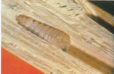 holzwurmholzbock  dachbalken obwohl statiker sein