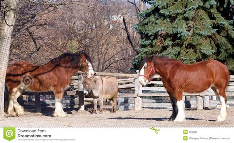 clydesdale horses  donkey royalty  stock image