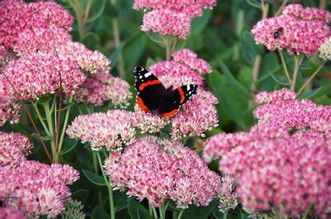 propagate autumn joy sedum hunker