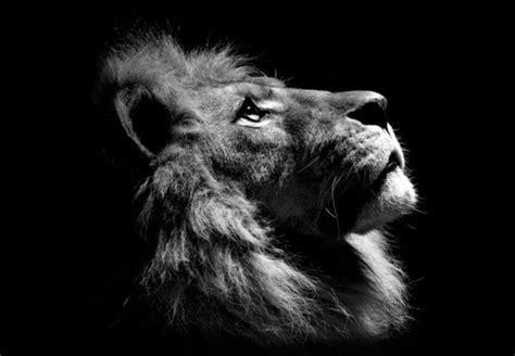 Lion Looking Up Artwork Lion Profile Lion Poster