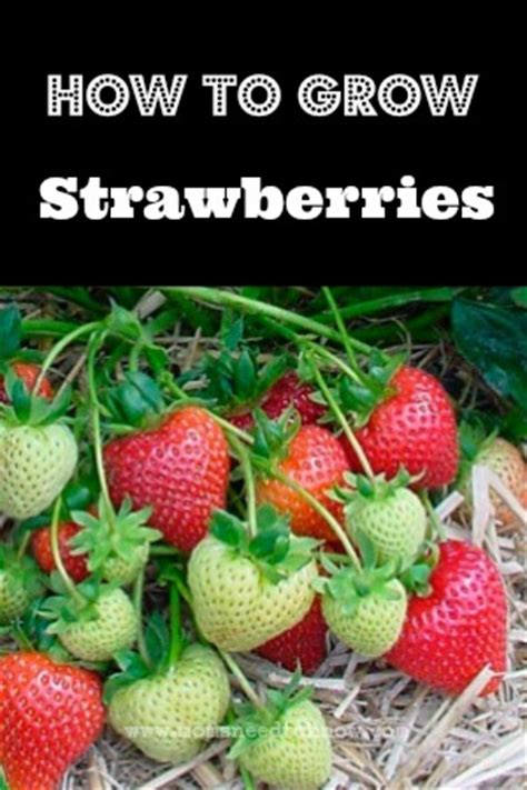 how to grow strawberries how to grow strawberries moms need to know