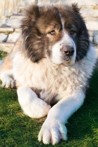 dog food  caucasian shepherd dogs  top picks