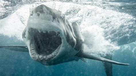 great white shark weighing  pounds heading