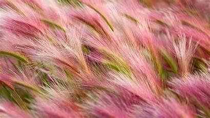Barley Foxtail Pink Hordeum Jubatum Backiee