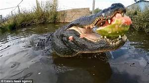 12ft alligator in Colorado bites a watermelon with its ...