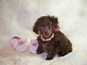 Teacup poodles, Poodles and Brown on Pinterest