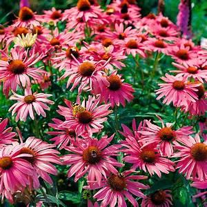 Sonnenhut Pflanze Kaufen : sonnenhut pflanze kaufen kaufen sie jetzt blumensaat sonnenhut cherokee sunset kaufen buntes ~ Buech-reservation.com Haus und Dekorationen