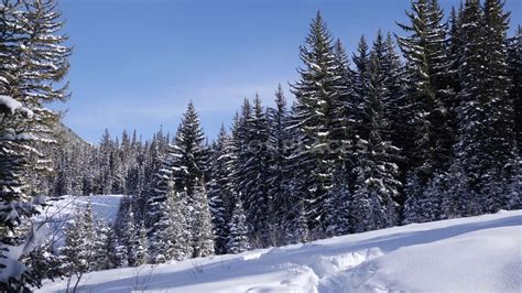 winter pine tree forest  stock footage motion places