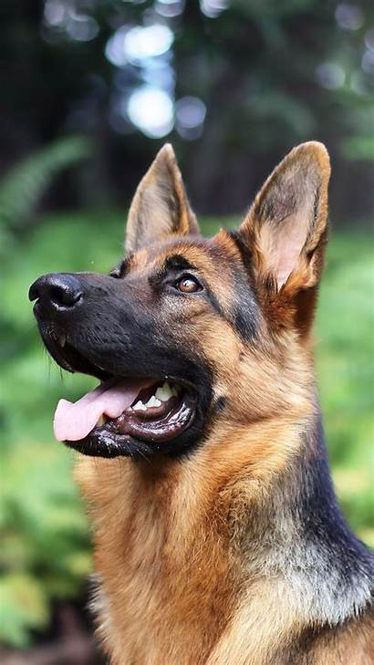 German Shepherd Dog Puppy Haired Wallpapers Mobile