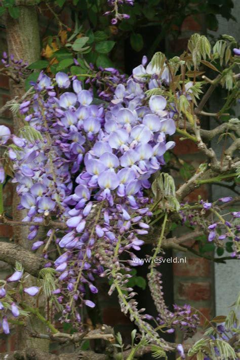 plantenwinkel wisteria sinensis prolific wwwesveldnl