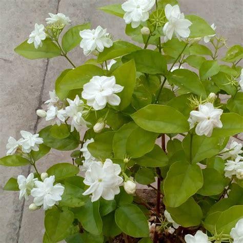Buy Jasminum Sambac, Mogra, Arabian Jasmine  Plant Online