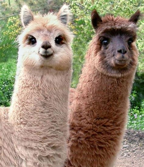 happy alpacas funny pictures  animals