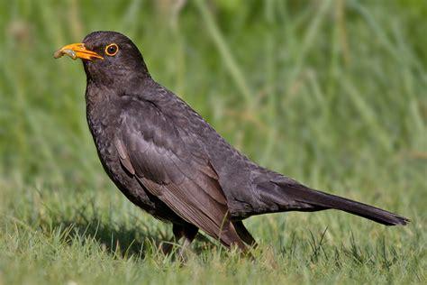file common blackbird jpg wikimedia commons