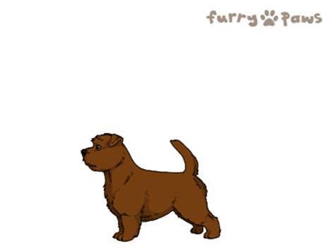 furry paws dog breed colors norfolk terrier colors