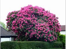 National Tree Of Nepal Rhododendron 123Countriescom