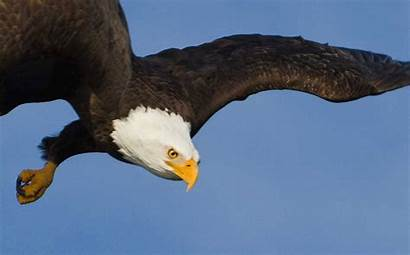 Eagle Bald Animated Gifs Eagles Diving American