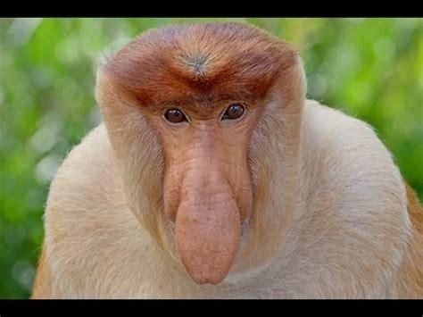el mono narigudo curiosidades sobre este hominido youtube