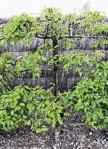 Spalierobst Als Sichtschutz : formobst spalier h berli fruchtpflanzen ag neukirch egnach ~ Orissabook.com Haus und Dekorationen