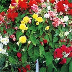 Was Passt Zu Rosen : knollenbegonien erinnern an rosen kamelien oder nelken ~ Lizthompson.info Haus und Dekorationen