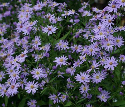aster fiori aster cordifolius blue heaven vivai priola fiori