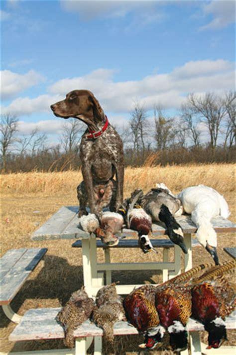 breed profile german shorthaired pointer gun dog magazine