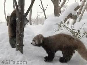 A red panda doing ring pull ups : gifs