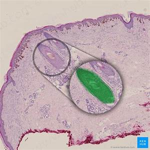 Sweat Glands  Structure And Function