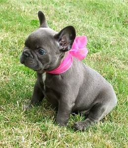 Blue french bulldogs, Blue french bulldog puppies and ...