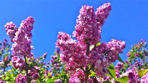 lilac festival guide lineup vendors