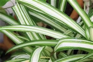 Zimmerpflanze Lange Grüne Blätter : gr nlilie pflege vermehrung ~ Markanthonyermac.com Haus und Dekorationen