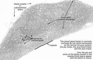 Hls   Endocrine System  Pineal Gland   Low Mag Labeled