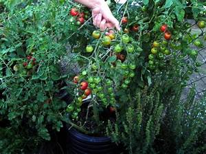 Gurken Im Kübel : tomaten und gurken ins gwh gem se kr uter gew rze pilze 12 das bio g rtner forum ~ Frokenaadalensverden.com Haus und Dekorationen