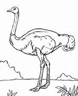 Coloring Ostrich Emu Bird Birds Children Getcolorings Printable African Getdrawings Topcoloringpages sketch template