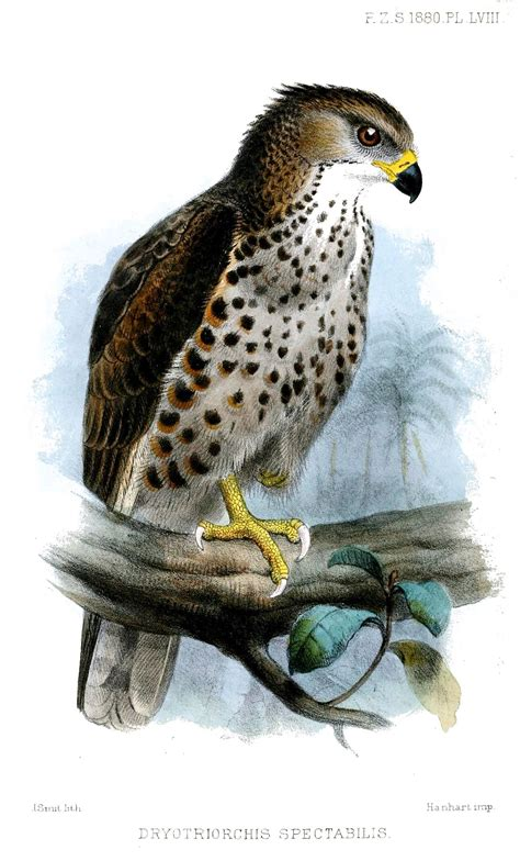 Congo serpent eagle - Wikipedia