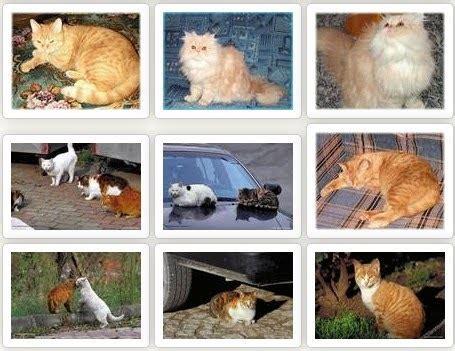 wallpaper kucing lucu kucing persia kucing