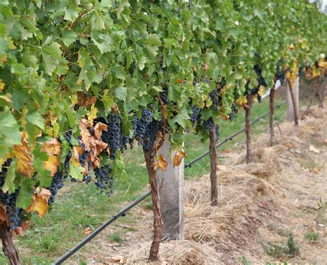what are grape vines file grape vines jpg wikipedia