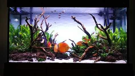 Planted Tank For Discus (12 Days After Scaped) Youtube