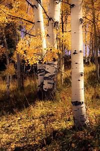 Aspen, Trees, Fall, Tree, Decor, Colorado, Art, Golden, Aspen, Trees, Rustic, Wall, Art, Cabin, Decor
