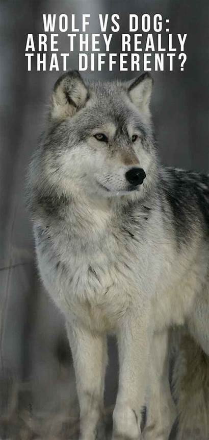 Wolf Dog Different Really Wolves Dogs References